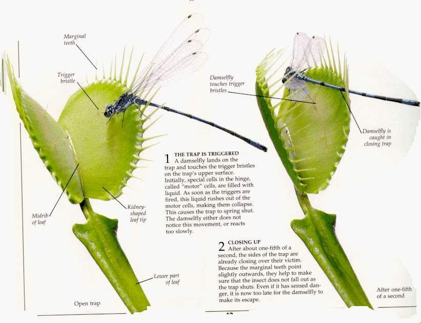 to Grow and Care for Venus Flytraps Hungry Venus – 10 Things On How to Care for a Venus Fly TrapHungry Venus – 10 Things On How to Care for a Venus Fly Trap