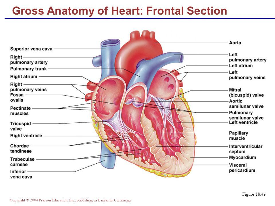 Pearson Education Heart Diagram Awesome Projects Anatomy Of The