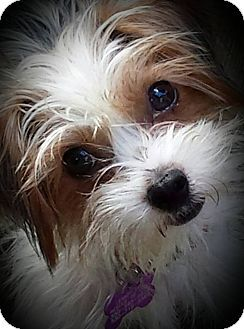 Yorkie Yorkshire Terrier Toy Fox Terrier Mix Dog For Adoption In Youngstown Ohio Tony Stark Toy Fox Terriers Yorkshire Terrier Fox Terrier
