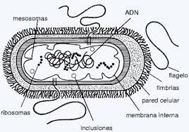 Resultado De Imagen Para Colorear Celula Eucariota Y