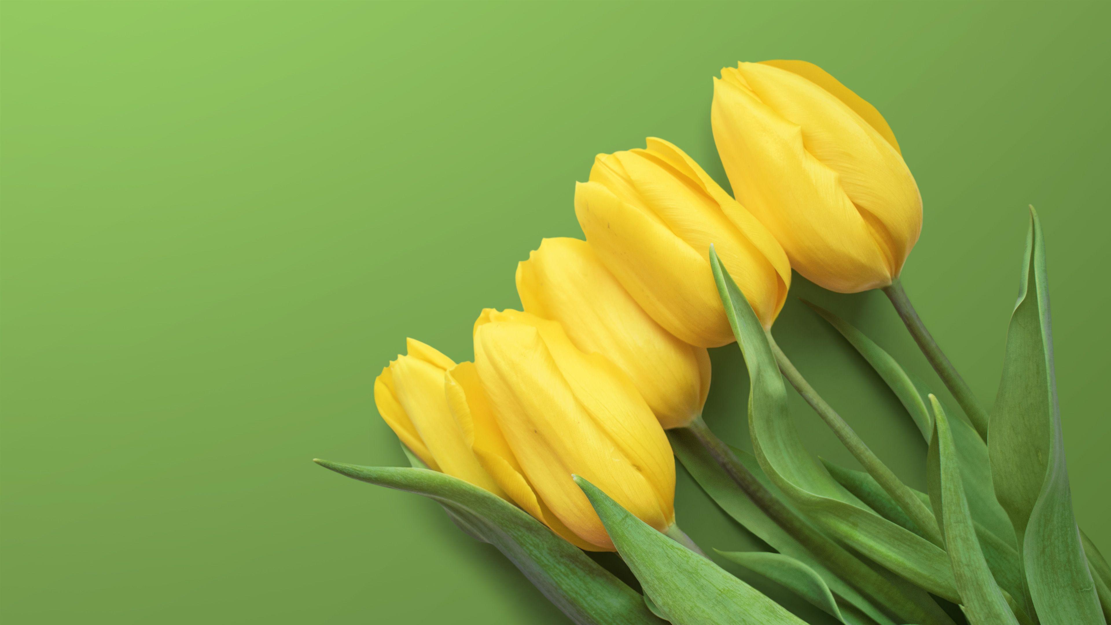 Yellow Tulips 4k Yellow Tulips Tulips Yellow Wallpaper