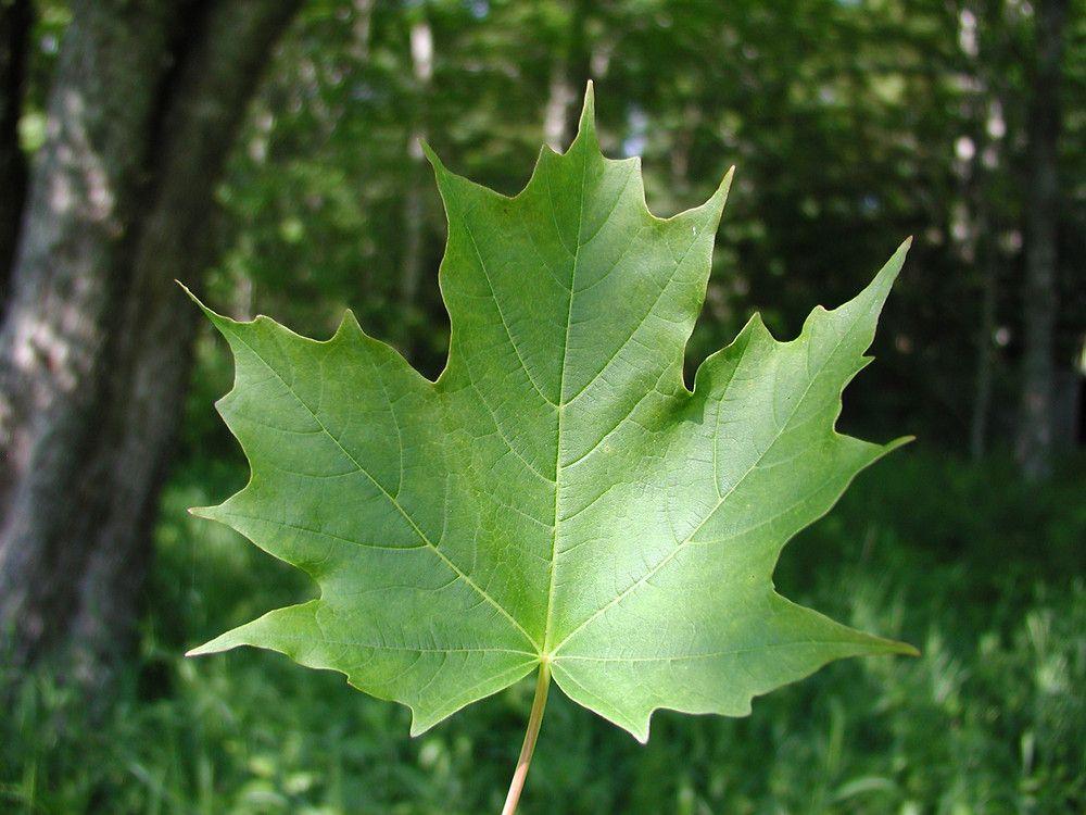 Acer Saccharum Aceraceae Sugar Maple Botany Study Board Acer