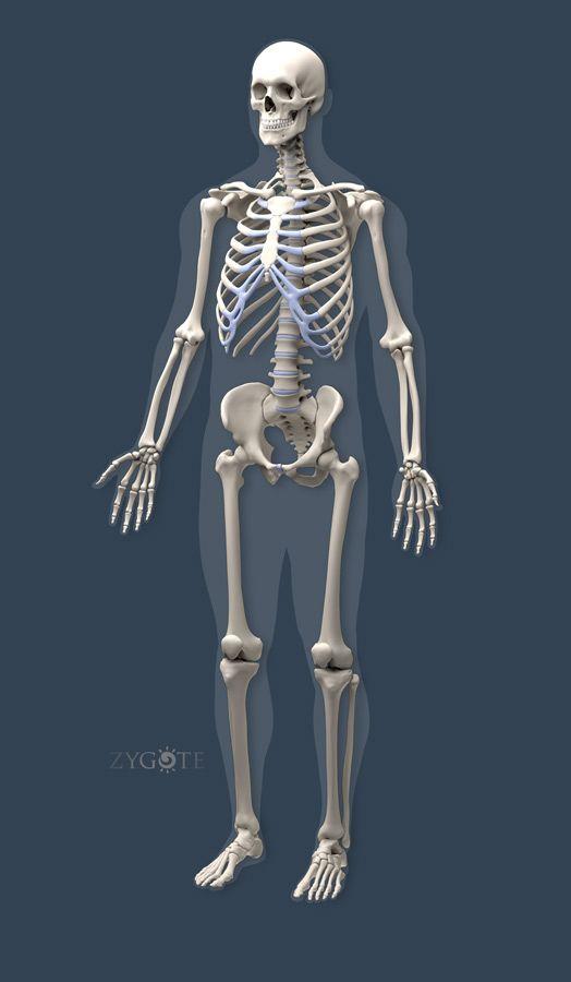 Solid 3d Skeleton Model | Ziyaret Edilecek Yerler | Pinterest ...