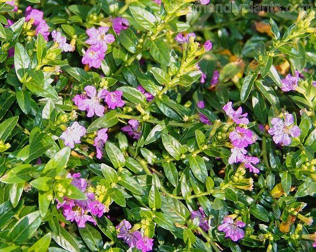 Mexican Heather Prefers Full Sun Ok Medium Soil Moisture Plants Flower Farm Heather Plant