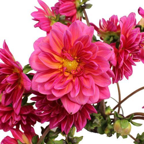 Hot pink dahlia flowers dahlia flowers dahlia and flowers hot pink dahlia flowers mightylinksfo Choice Image