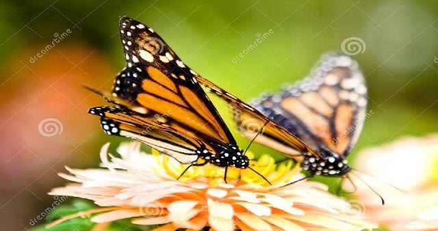 Perché le Farfalle in Italia rischiano l'estinzione?Le farfalle sono gli insetti che rappresentano maggiormente le specie viventi sulla Terra...