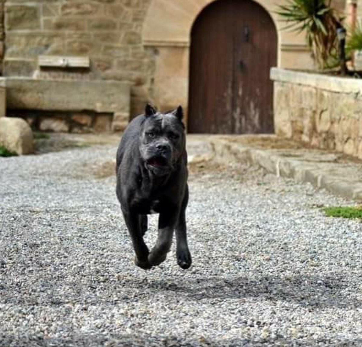 Cane Corso Cane corso, Black pitbull, Dogs