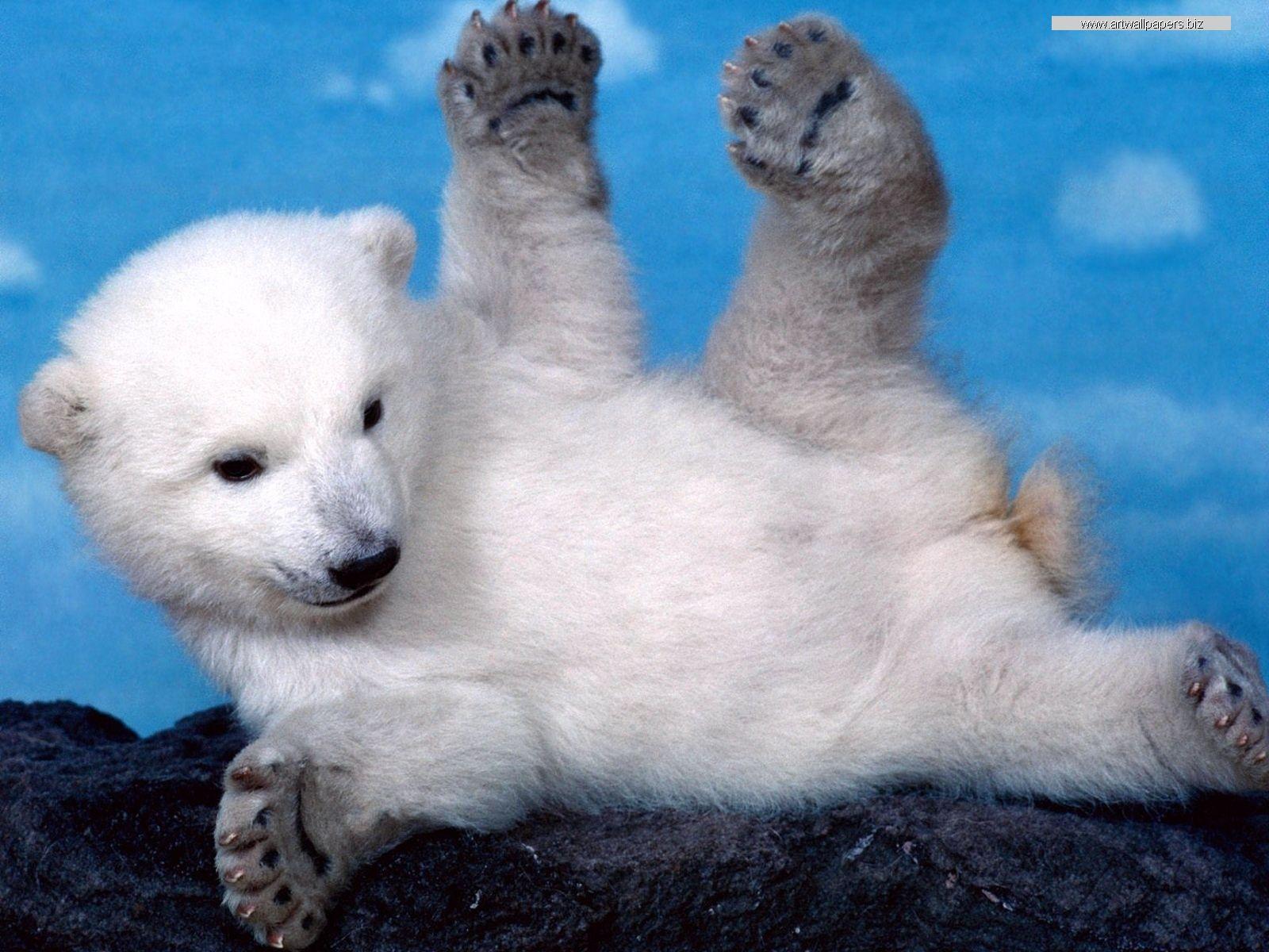 Http Www Arts Wallpapers Com Artwallpapersbiz Animals Wild Animals Images 31 Jpg Baby Polar Bears Polar Bear Wallpaper Baby Animals Pictures