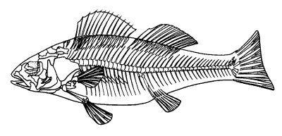 diagram of the skeleton of a boney fish fish Whole Skeleton Diagram diagram of the skeleton of a boney fish