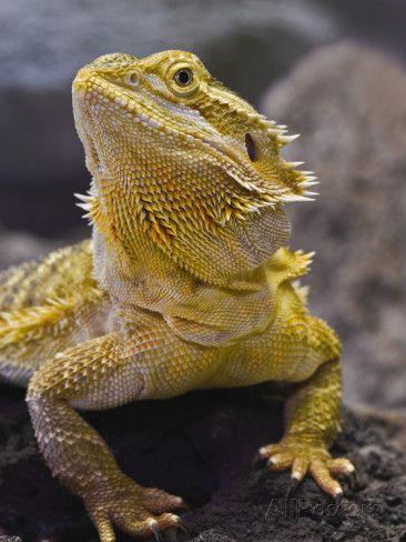 Bearded Dragon, Pogona Vitticeps, Captive Photographic Print by Adam Jones at AllPosters.com