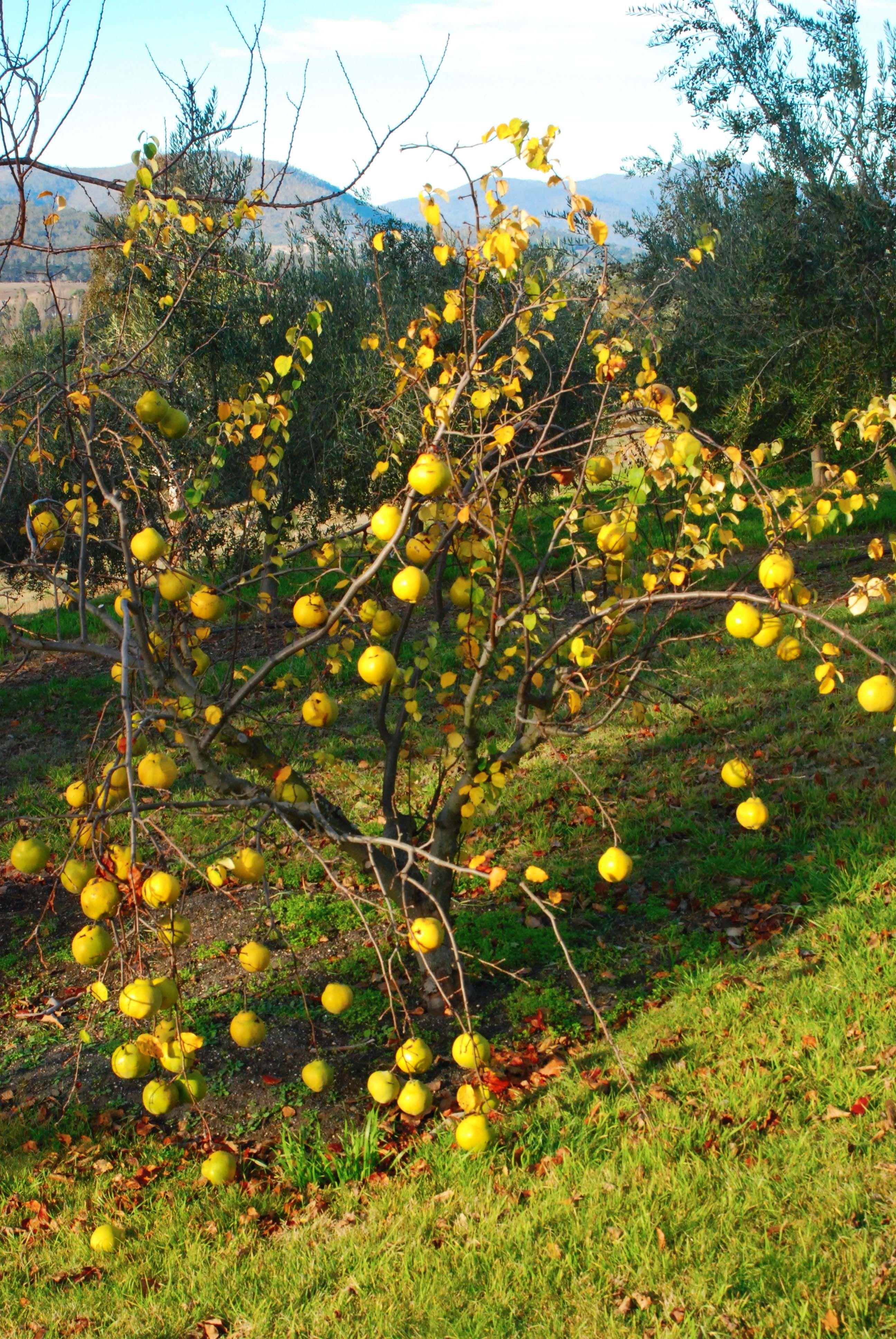 Edible Quince Tree Fruit Trees Edible Garden Banana Flower