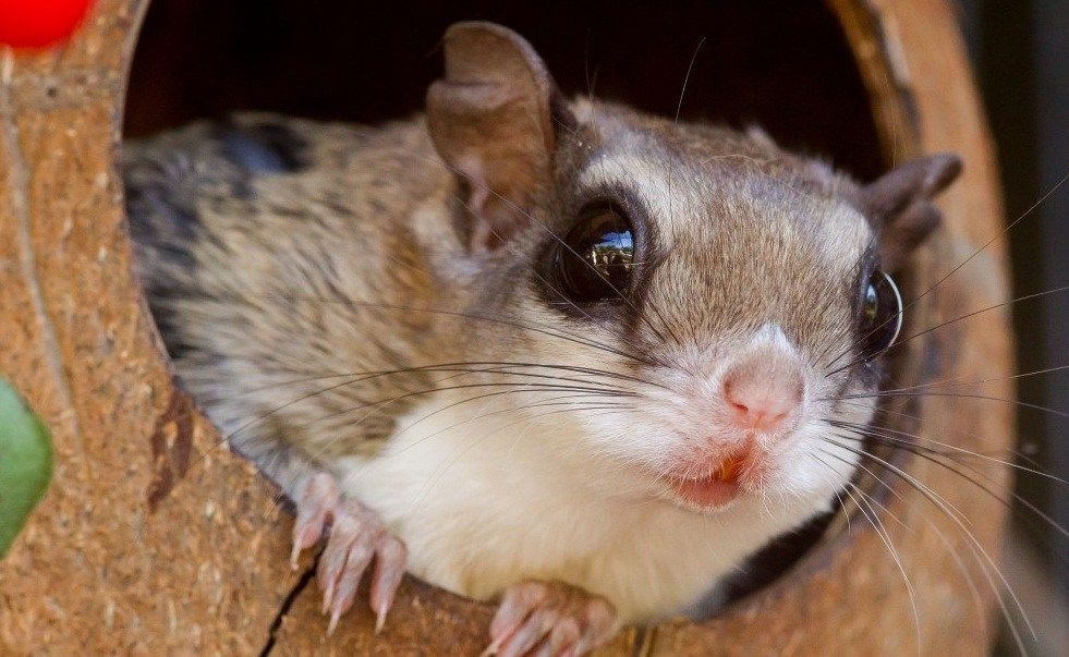 What You Need To Know As Owner Of Flying Squirrel Pet Flying Squirrel Pet Flying Squirrel Hedgehog Pet