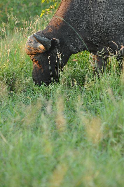 Buffalo near Mooiplaas, Kruger National Park, South Africa