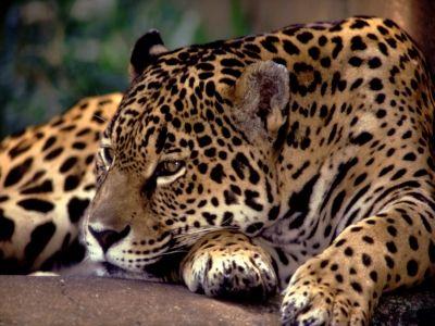 Onca Pintada Haroldo Palo Jr The Animals Grandes Felinos Pantanal