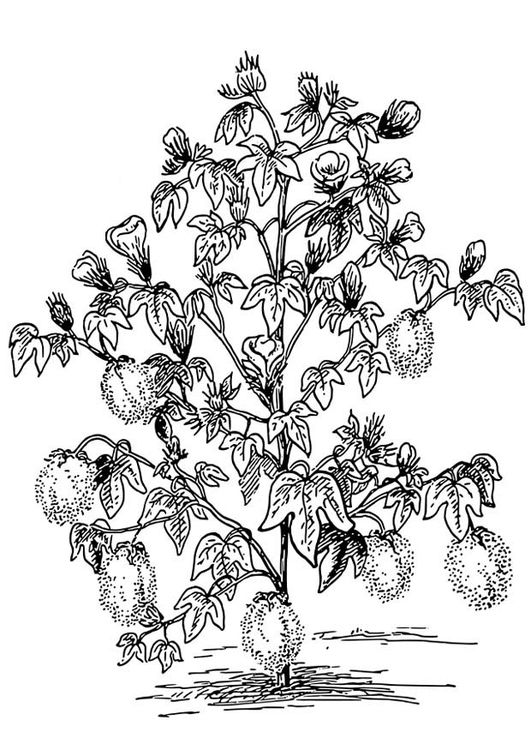 Coloring Page Cotton Plant Coloring Pages