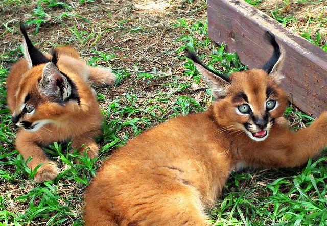 caracal, kittens, african cat, desert lynx Caracal