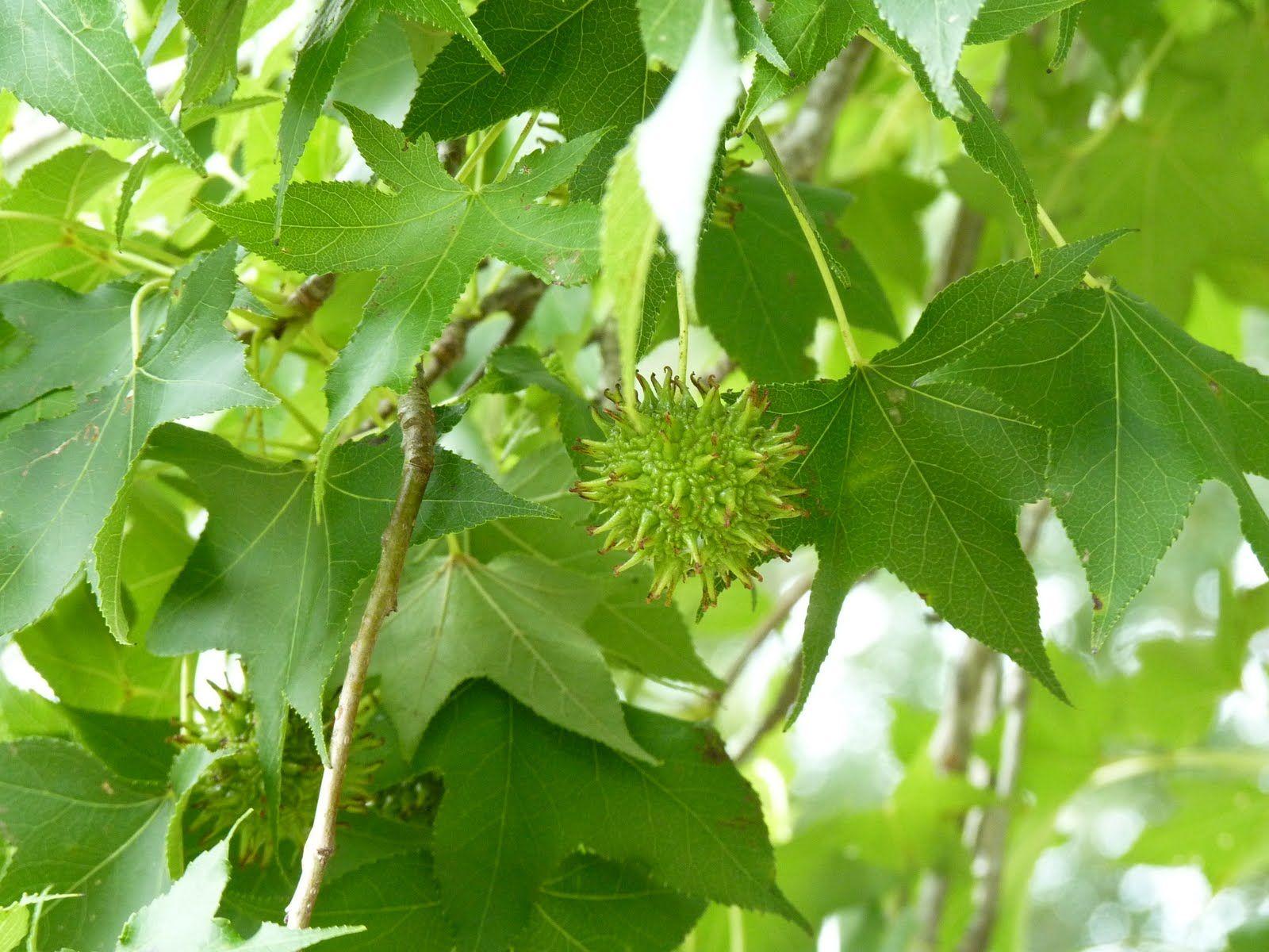 Sweet Gum Trees In Meyerland Sweet Gum Tree Plant Leaves