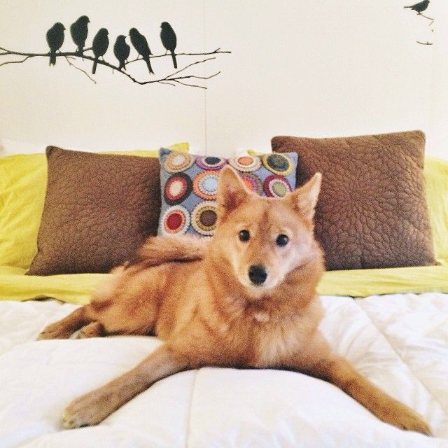 Finnish Spitz...  One day..many, many years from now.