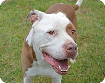 Santa Barbara Ca American Bulldog American Staffordshire