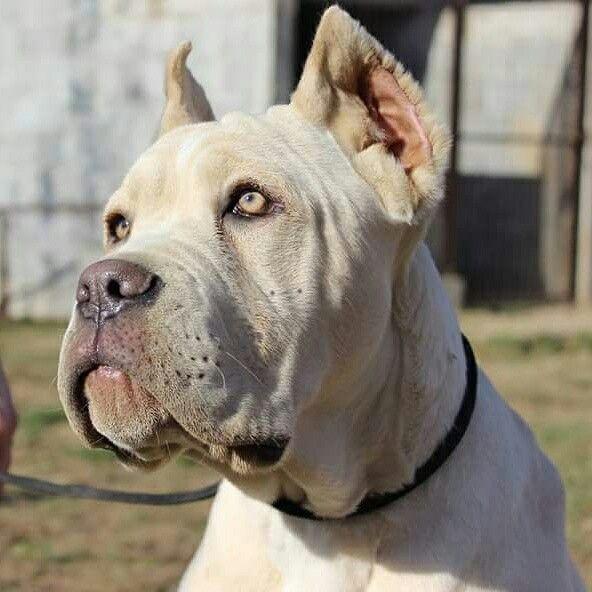 White Cane Corso In Maxima Lux Kennel Rare Color Italian Mastiff More On Www Whitecanecorso Com Cane Corso Cane Corso Dog Corso Dog