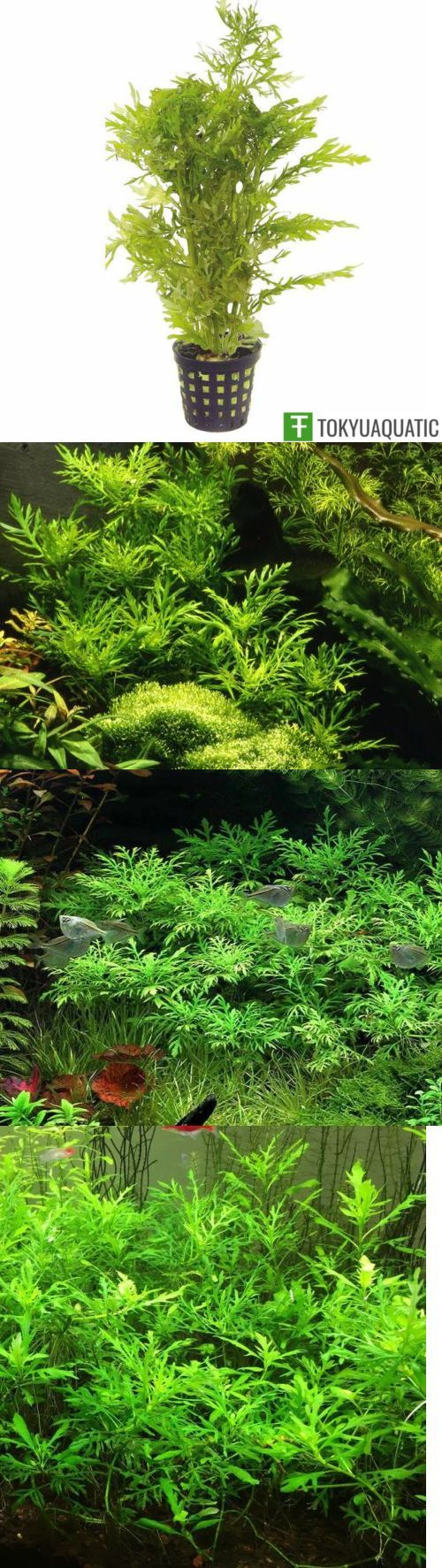Live plants hygrophila difformis water wisteria pot