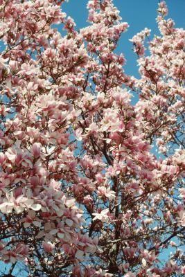 How To Treat Scale On Magnolia Trees Ehow Magnolia Trees