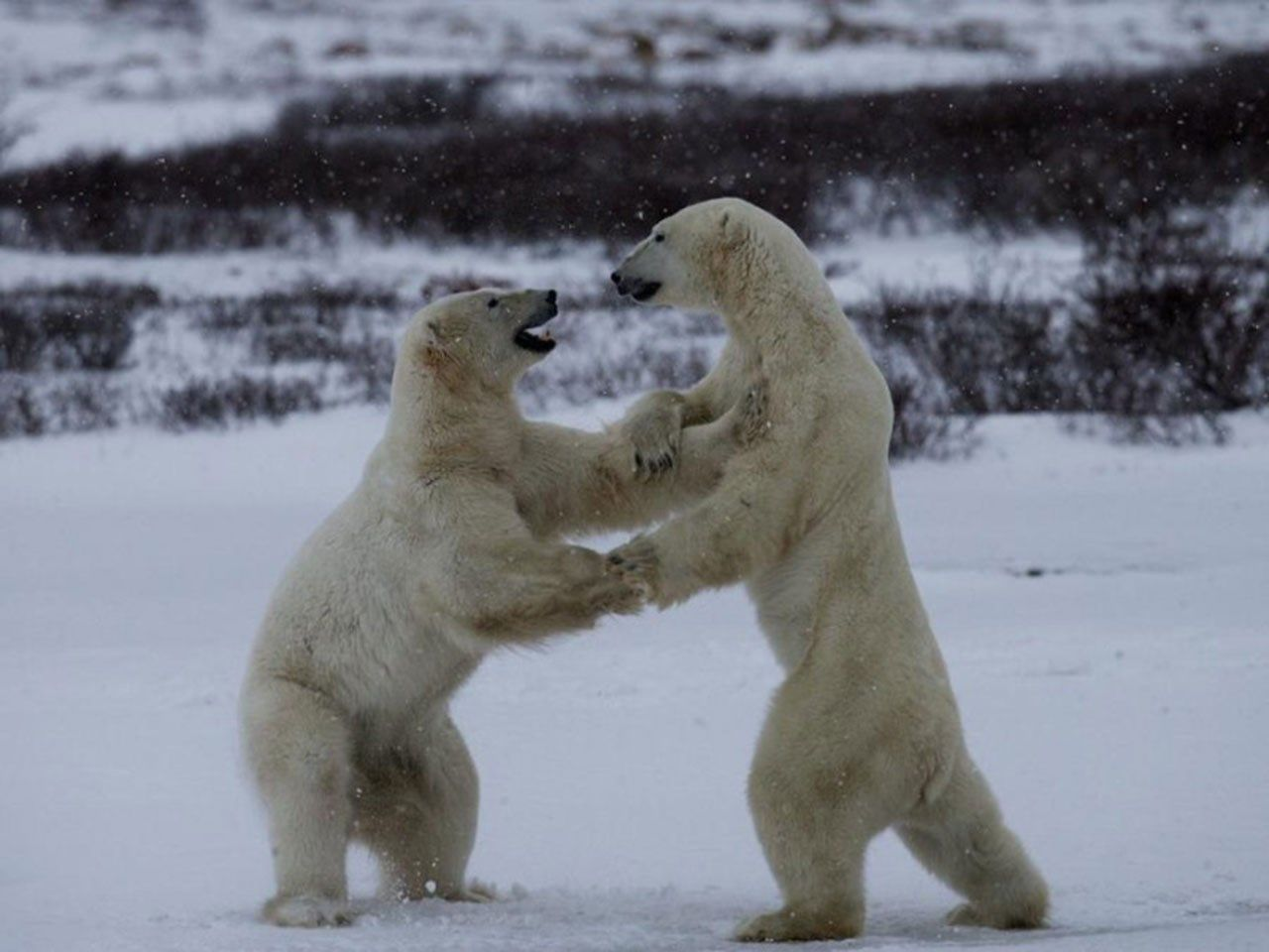 polar bear pic full hd pictures whitey brook 1280x960