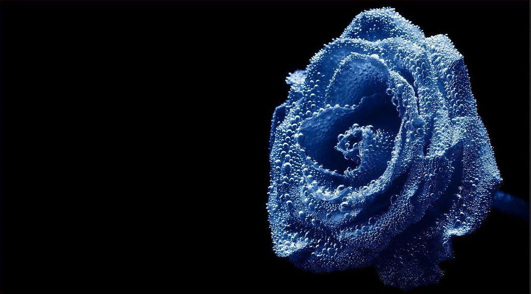 Blue Rose With Black Background Blue Roses Wallpaper Blue Rose Meaning Rose Flower Hd Blue rose wallpaper hd