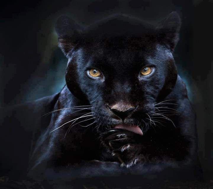 black puma dog