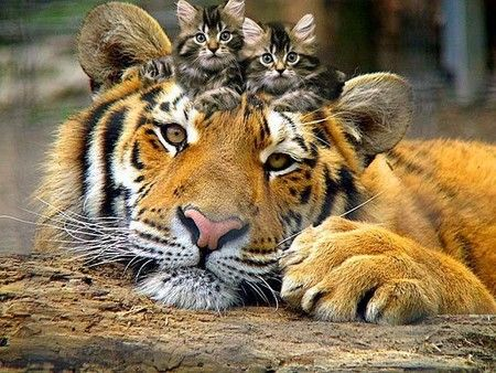 Do You Know Diet Of Bengal Tiger Wild Cats Funny Tiger Animals Beautiful