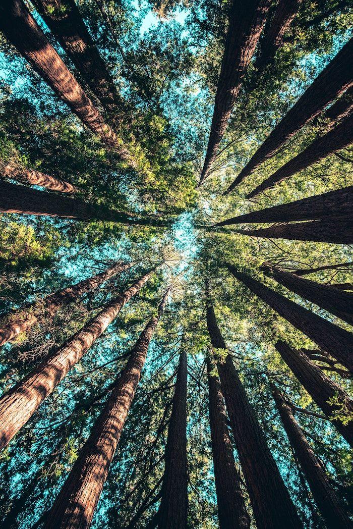 Belle image pour fond d'écran gratuit printemps, foret vert et ciel bleu image printemps, originale perspective photo foret les couronnes des arbres pins