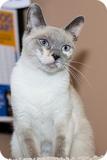 Philadelphia Pa Siamese Meet Coral A Cat For Adoption Cat Adoption Kitten Adoption Cats And Kittens