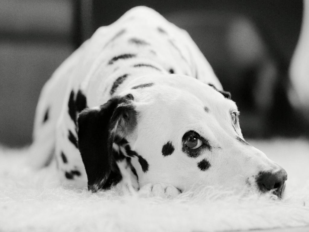 Dalmatian #dalmatians https://www.facebook.com/pages/Dalmatians/221192661317562