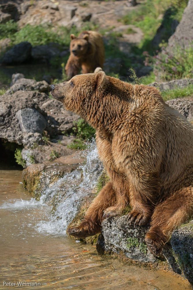 One male eurasian brown bear (Ursus arctos arctos) sitting aside a little water cascade and between rocks and green vegetation in sweet evening light. A second female bear is in the background,