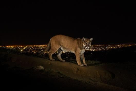 Acougar walking a trail in Los Angeles' Griffith Park, captured by a camera trap in Los Angeles on Mar. 2, 2013. To reach the park, which h...