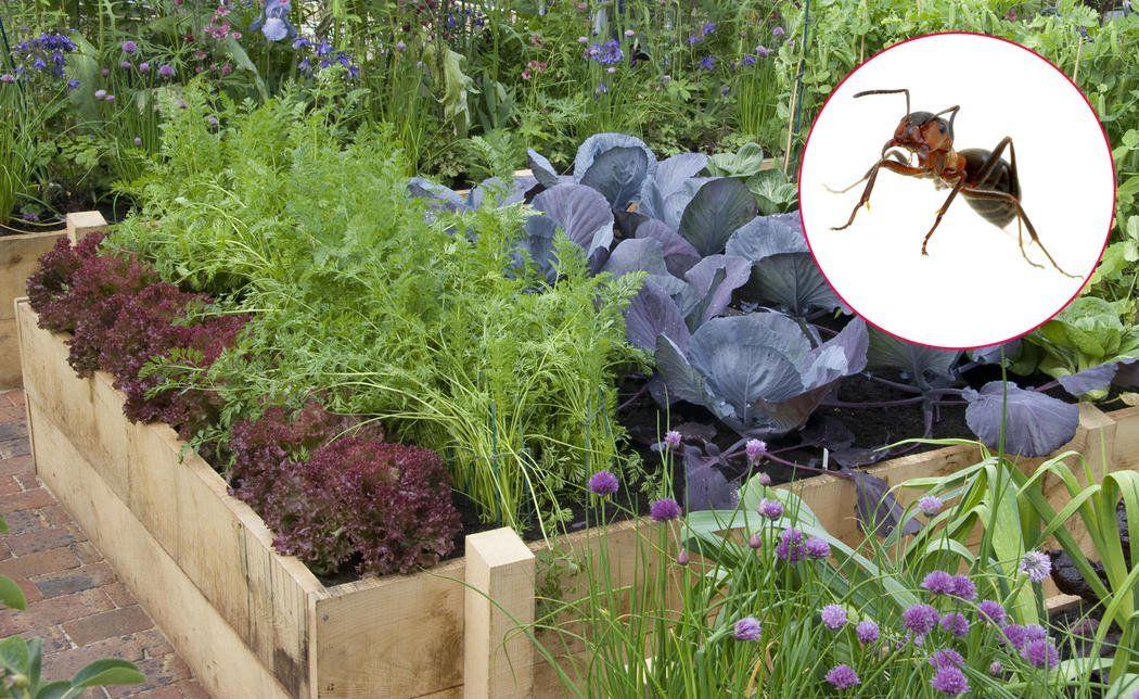 Ameisen Im Hochbeet So Werden Sie Die Insekten Los In 2020 Ameisen Im Hochbeet Hochbeet Garten Pflanzen