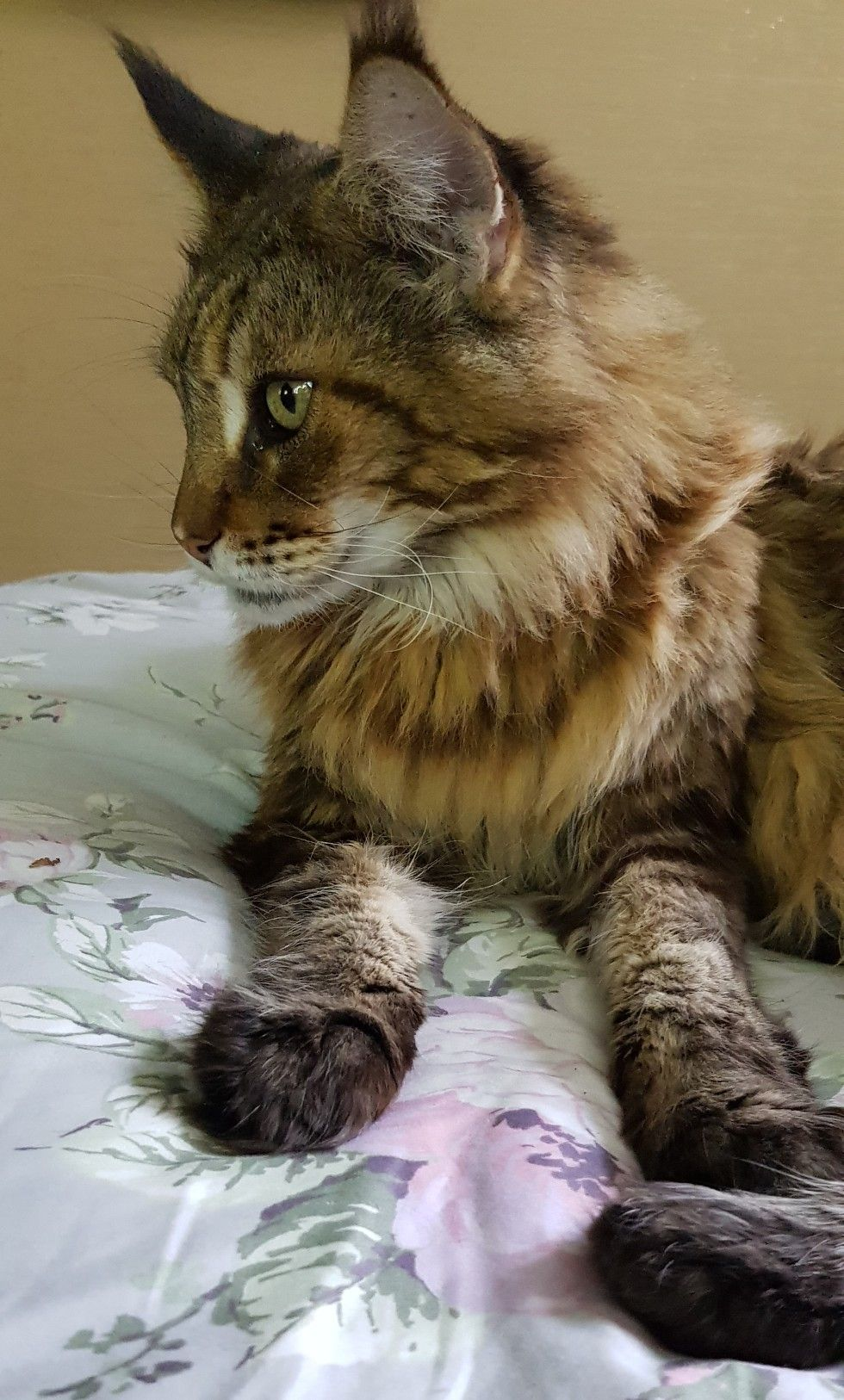 Adorable long haired tabby. (With images) Cute cat