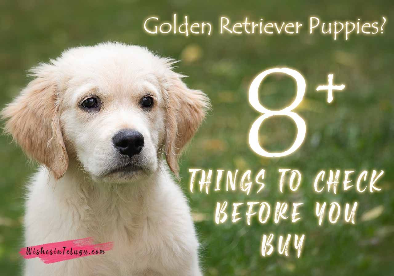 8 Things To Do Before Buying A Golden Retriever Puppies