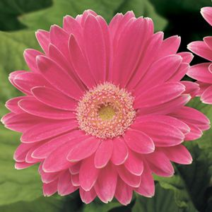 Buy Gerbera Ezdazy Rose Annual Plants Online. Garden Crossings Online Garden Center offers a large selection of Gerbera Daisy Plants. Shop our Online Annual catalog today!