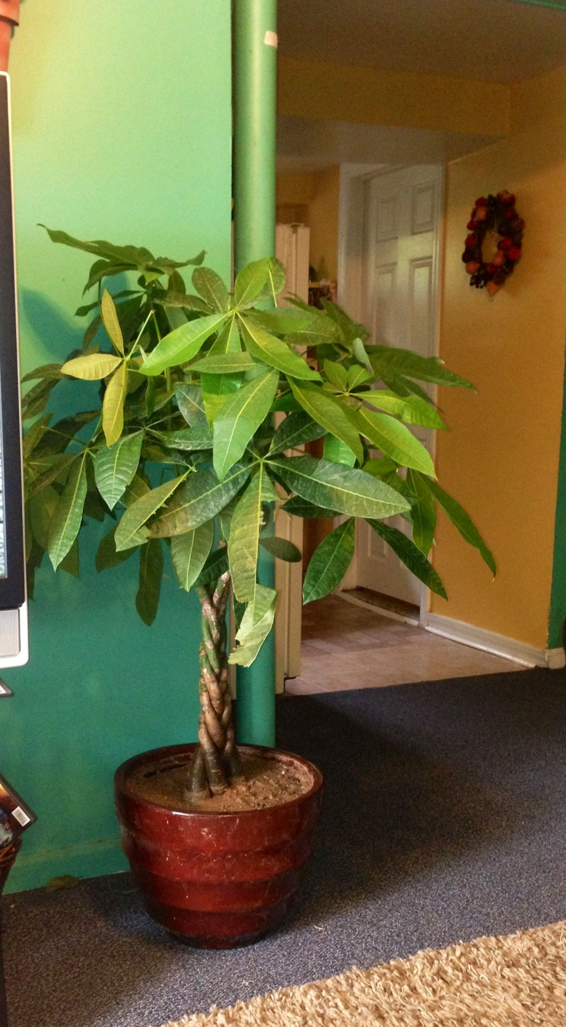 money tree plant beutiful for the home its a inside door plant you can get it at home depot. Black Bedroom Furniture Sets. Home Design Ideas