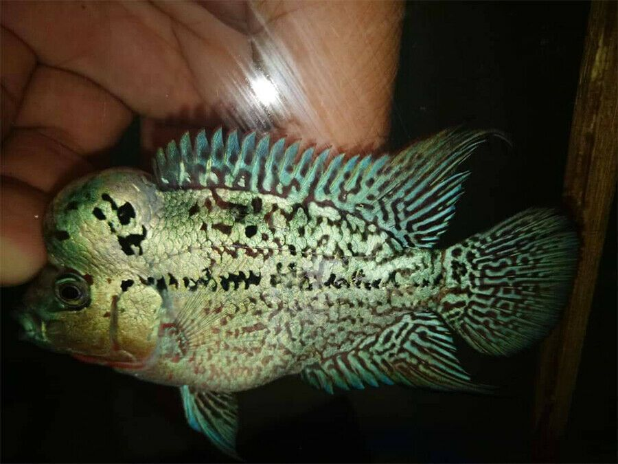 3 5 Inch Baby Show Quality Golden Base Monster Kok Flowerhorn 112 Beautiful Fish Tropical Fish Fish