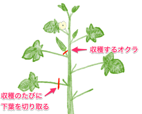 オクラ収穫と同時に下葉取り オクラ 栽培 栽培 オクラ