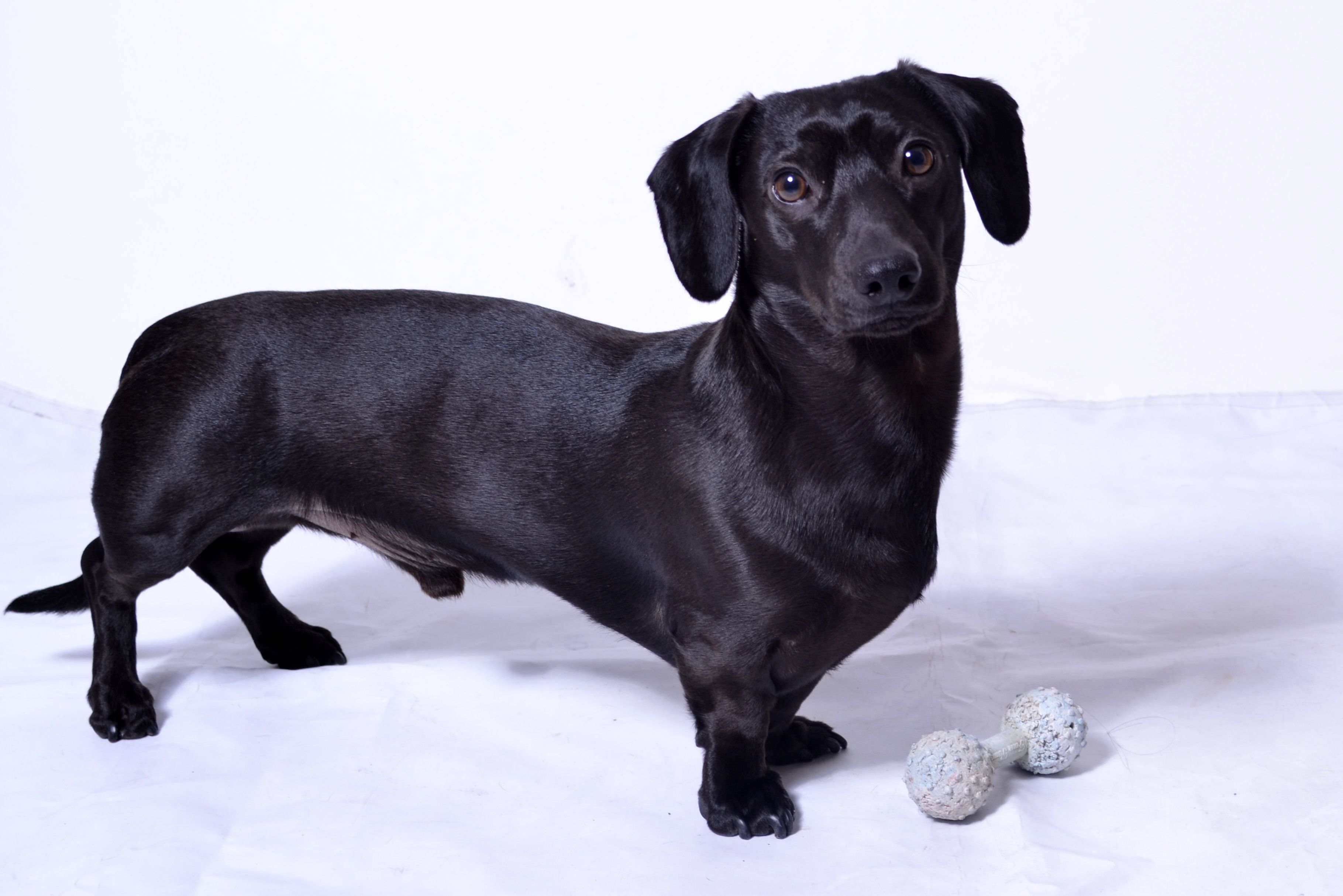 Mr Bentley My All Black Dachshund Weiner Dog Black Dachshund
