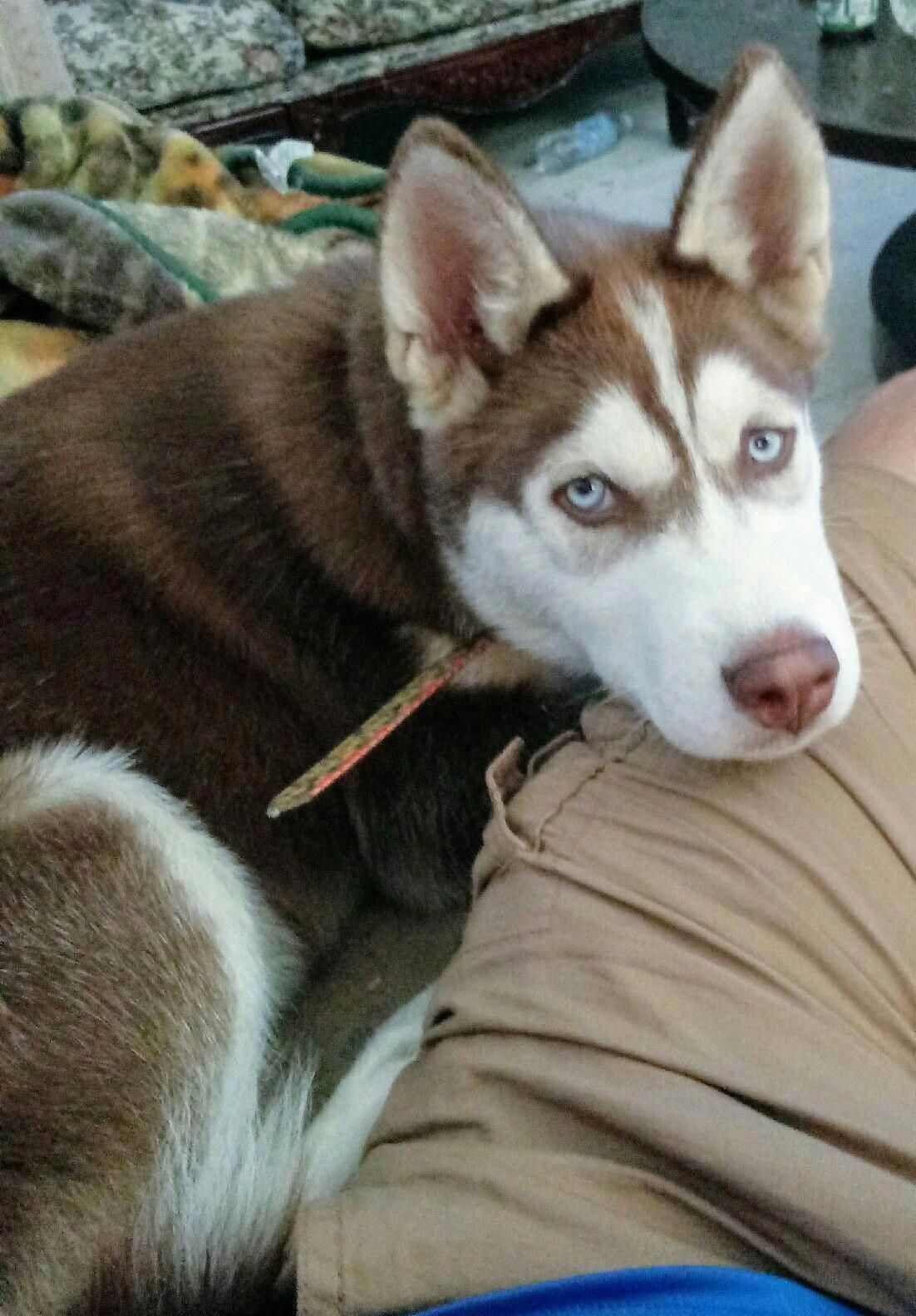 Discover Playful Siberian Huskies Pups Personality