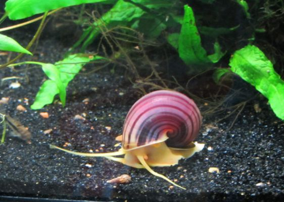 My Mystery Snail Clutches Purple Snail Apple Snail Fish Tank Plants