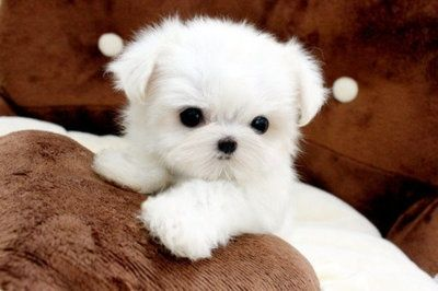By Ofelia With Images Cute Dogs And Puppies Cute Animals Maltese Puppy