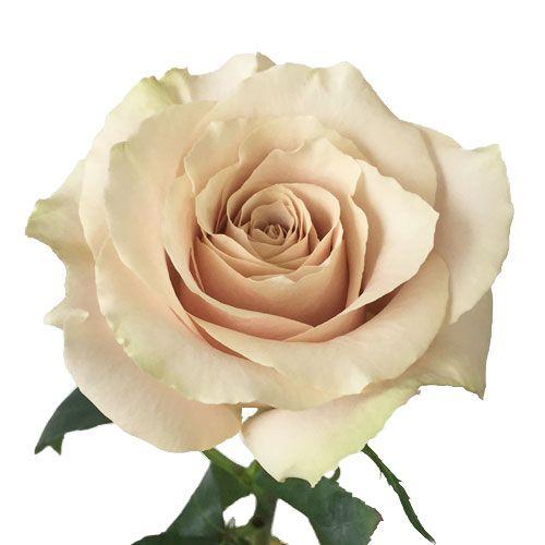 513176c4c987 Quicksand Cream Roses