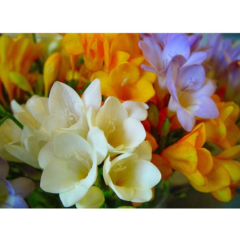 Freesia Seeds Potted Seed Freesia Flower Seed Variety Complete 50 Seed Pack Freesia Flowers Flower Seeds Seed Pots