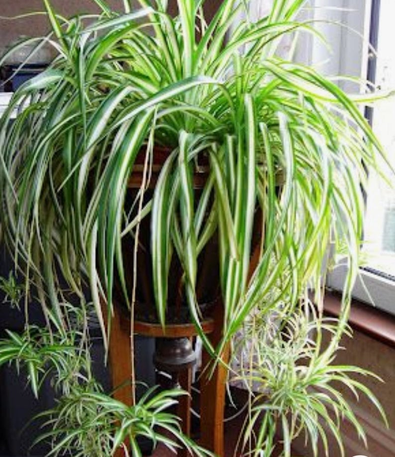 Spring Sale, spider plant, variegated, easy care,