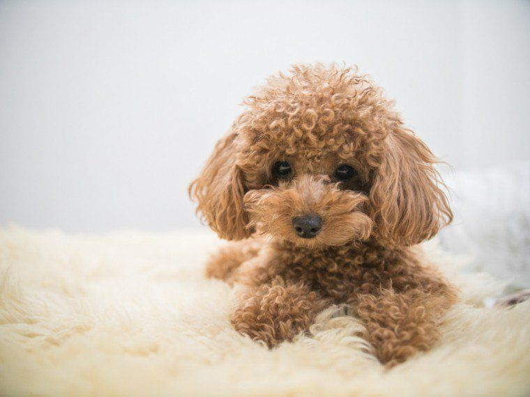 Ten Things You Need To Know About The Toy Poodle Before You Buy